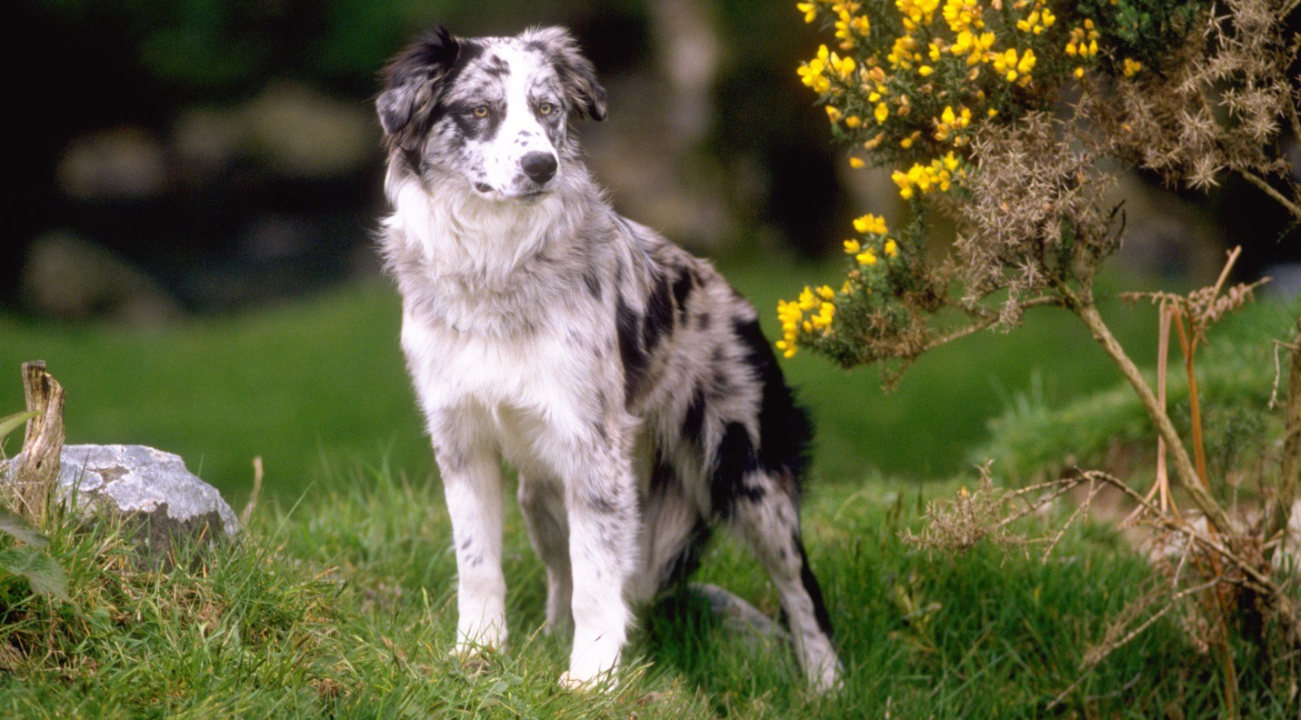 Pin images blue merle border collie dekreu reu wallpaper on pinterest -  15 Blue Merle Border Collie Tekening In Kleur Pictures