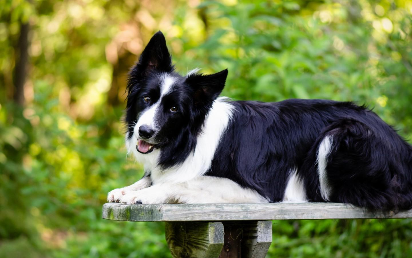 73 border collie hd - photo #27