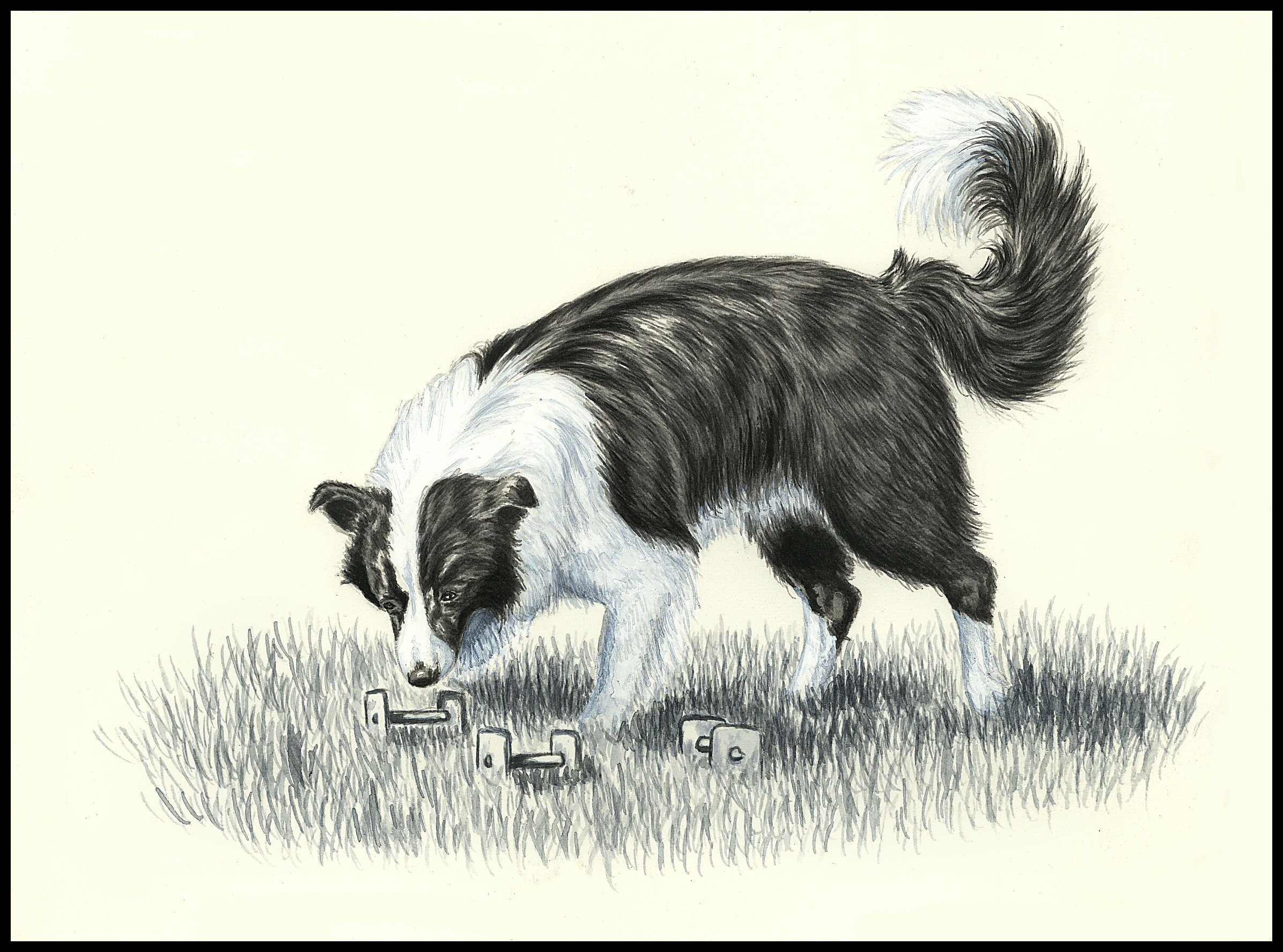 border collie obedience work draw